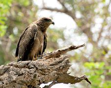 Free Wild Eagle Stock Photography - 10205732