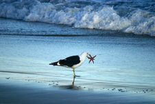 Free Seagul Holding A Starfish In It S Beak. Stock Photos - 10206283