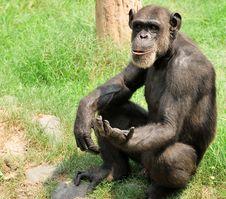 Free Chimpanzee Stock Image - 10206641