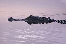Free Alligator-1 Stock Images - 10207764