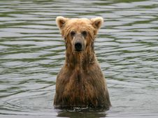 Free Wet Bear Royalty Free Stock Photography - 10207907