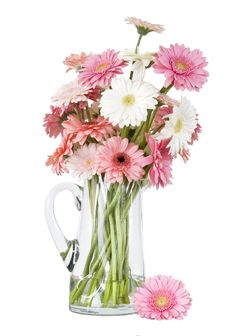 Free Pink Gerber Daisies In Vase Isolated On White Back Royalty Free Stock Photography - 10208567