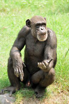 Free Chimpanzee Stock Photos - 10209093