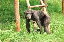 Free Black Chimpanzee Stock Image - 10209271