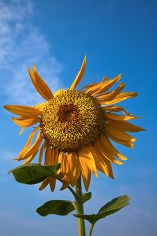 Free Sunflower Royalty Free Stock Photography - 10209487