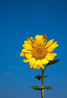 Free Sunflower Stock Photos - 10209563