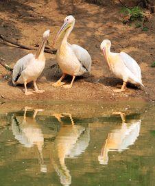 Free Pelican Family Stock Photos - 10209783