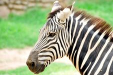 Free Zebra Stock Photography - 10209912