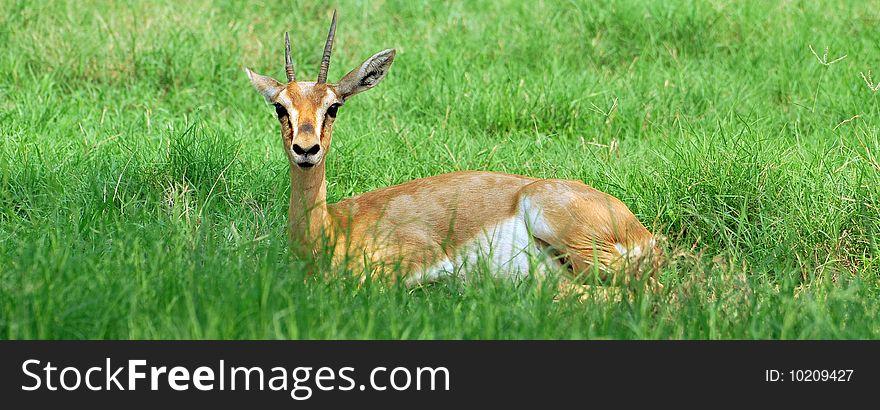 Cute Chinkara Deer - Free Stock Images & Photos - 10209427