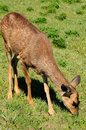 Free Deer Eating Grass Stock Photography - 10214192