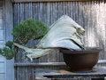 Free Juniper Bonsai Stock Image - 10215271