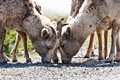 Free Bighorn Sheep Royalty Free Stock Photo - 10217195