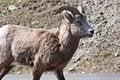 Free Bighorn Sheep Royalty Free Stock Photos - 10217218