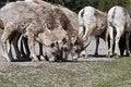 Free Bighorn Sheep Stock Photo - 10217230