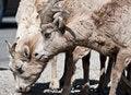 Free Bighorn Sheep Stock Photos - 10217273