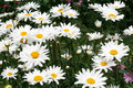 Free Daisies As A Background Stock Image - 10218881