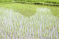 Chinese Rice Fields In Guilin Stock Image