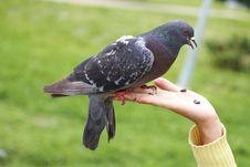 Free Single Grey Town Pigeon On Hand Stock Photos - 10212473