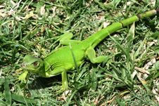 Free Green Lizard Stock Photography - 10212502