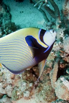 Free Emperor Angelfish Stock Photos - 10212653