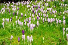 Free Carpet Of Blooming Crocuses Royalty Free Stock Photo - 10212655