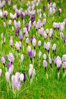 Free Carpet Of Blooming Crocuses Stock Photo - 10212680