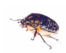 Free Maybeetle Royalty Free Stock Photography - 10213347
