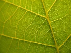 Detailed Leaf Veins Texture Stock Photography