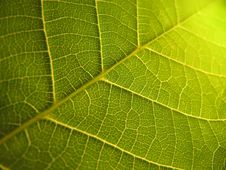 Free Leaf Macro Shot Royalty Free Stock Photos - 10213488