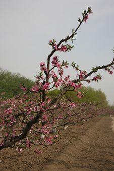 A Branch Of Peach Blossom Stock Photography