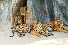 Free A Tiger Family Royalty Free Stock Photo - 10214255