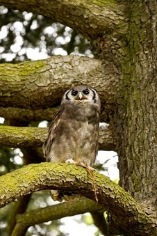 Free Owl On A Tree Royalty Free Stock Photography - 10214597