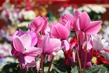 Free Pink Cyclamen Royalty Free Stock Image - 10214806