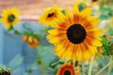 Free Sunflower Stock Photos - 10215043