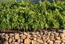Free Grape Vineyard Royalty Free Stock Photo - 10215435