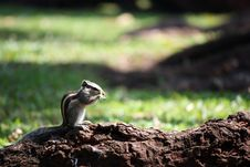 Free Indian Palm Squirrel Stock Photo - 10217200
