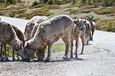 Free Bighorn Sheep Stock Photos - 10217203