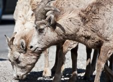 Free Bighorn Sheep Stock Photos - 10217273