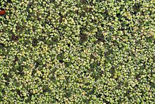 Free Marsh Duckweed Stock Images - 10217444
