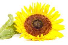 Free Single Sunflower Isolated On White Stock Photo - 10217510