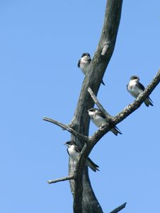 Free Tree Swallow Group Stock Image - 10219011