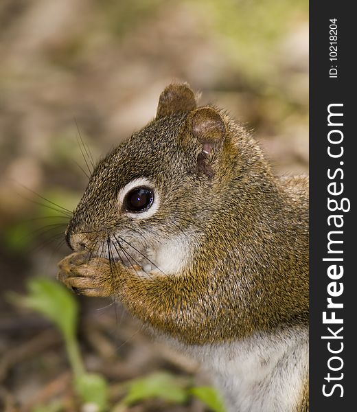 Red squirrel food
