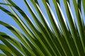 Free Green Palm Leaf Royalty Free Stock Photos - 10221728