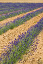 Free Lavender Field Royalty Free Stock Image - 10224176