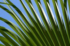 Free Green Palm Leaf Royalty Free Stock Photos - 10221728