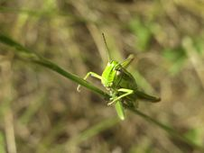 Free Green Grasshopper Macro Stock Images - 10222254