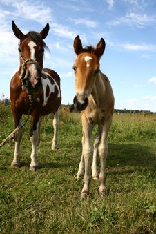 Free Mare And Her Young Royalty Free Stock Photography - 10223457