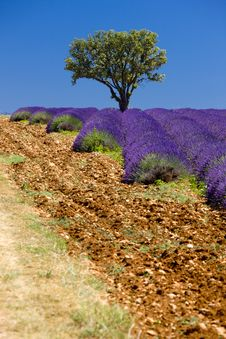 Free Lavender Field Royalty Free Stock Photos - 10223928