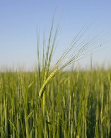Free Green Wheat Royalty Free Stock Photos - 10224768