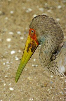 Free Marabou Stork In Closeup Stock Image - 10225431